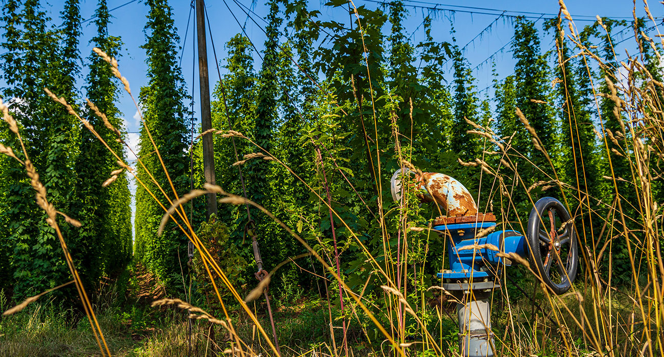 Beer-Chronicle-why-are-hops-so-sexy_0002_-Hops-andre-klimke-2afNpP1BcHk-unsplash